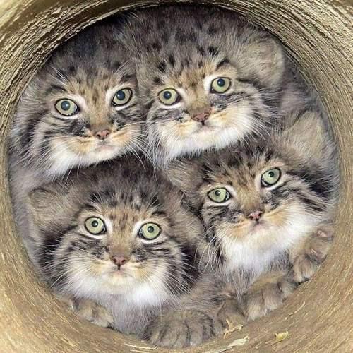 بیماری های گربه پالاس