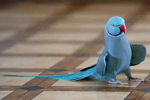 عکس طوطی ملنگو