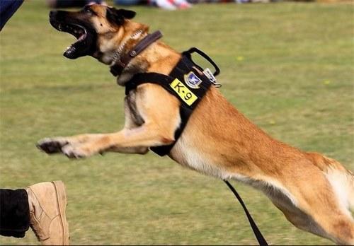 حس بویایی سگ چقدر است؟