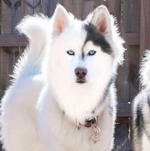 سگ برفی