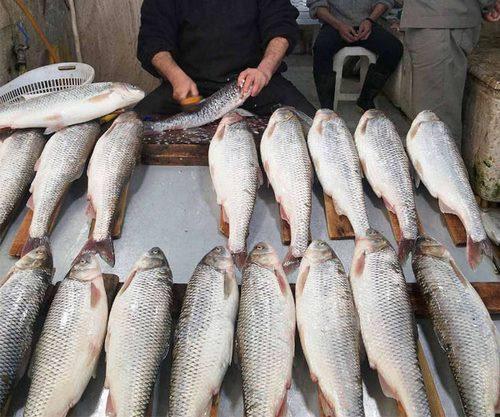عمر ماهی سفید چقدر است؟